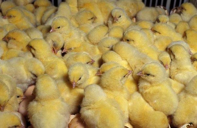 Приусадебное хозяйство: чем кормят цыплят-бройлеров