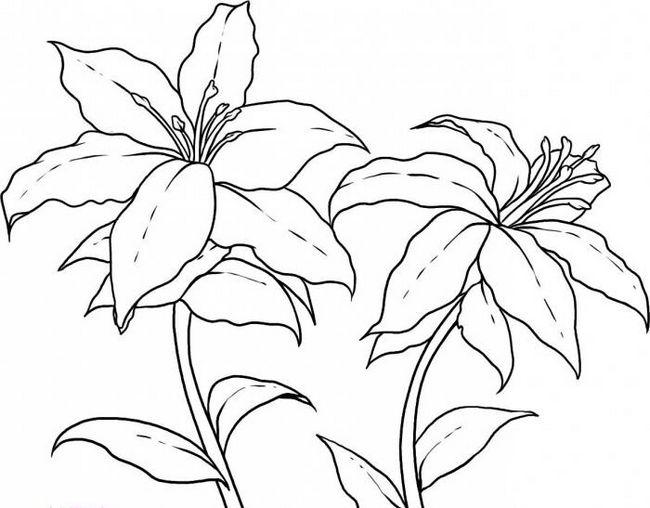 как нарисовать лилию