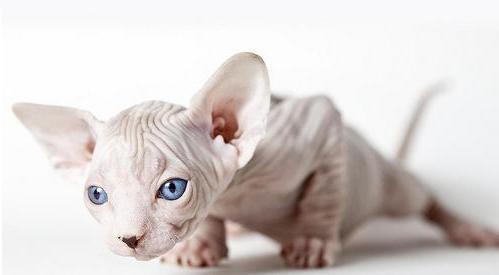 Рассмотрим породы лысых кошек