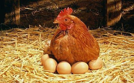 Разбираемся в том, сколько курица высиживает яйца и какие условия ей необходимо для этого создать