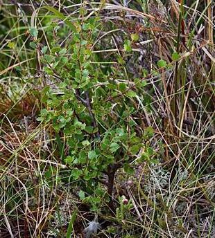 реликтовые растения