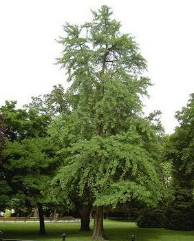реликтовое дерево