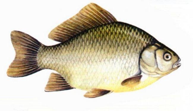 Рыба карась – повадки и особенности