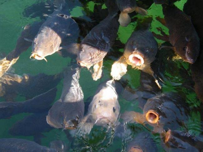 Рыба карп – повадки и особенности