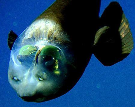 Рыба с прозрачной головой обладает уникальной оптической системой глаз