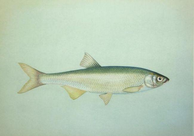 Рыба шемая - царская рыба