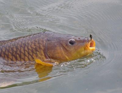 Рыбалка: сазан. На что ловить этот желанный трофей?
