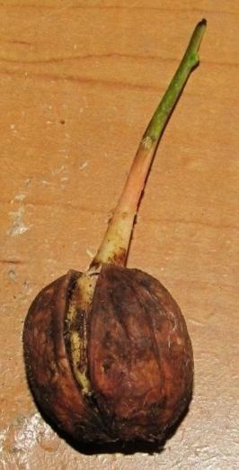 как посадить дерево грецкого ореха