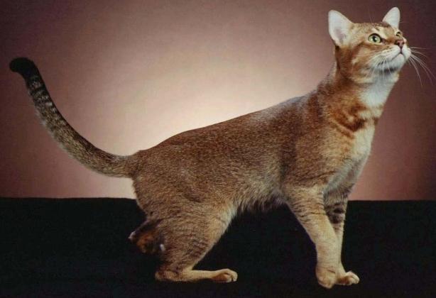 большая порода кошек