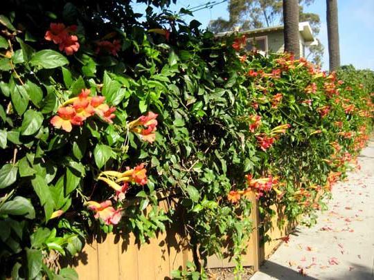 Самые популярные вьющиеся растения для забора