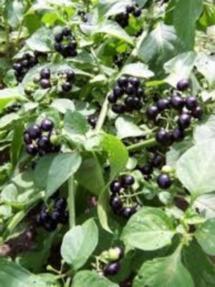 Санберри. Выращивание и полезные свойства