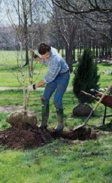 Саженец дерева требует бережного отношения