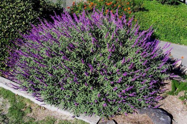 растения семейства яснотковых