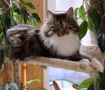 Сибирский кот - лучший домашний питомец
