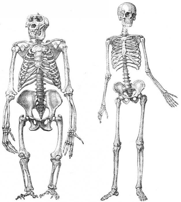 скелет нижних конечностей человека