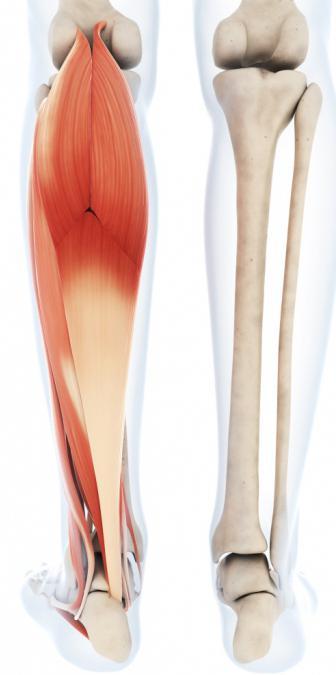 скелет пояса нижних конечностей