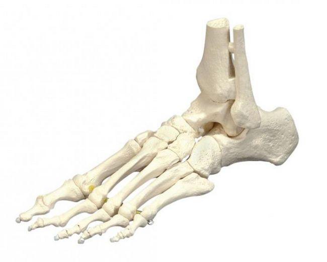 скелет свободной нижней конечности