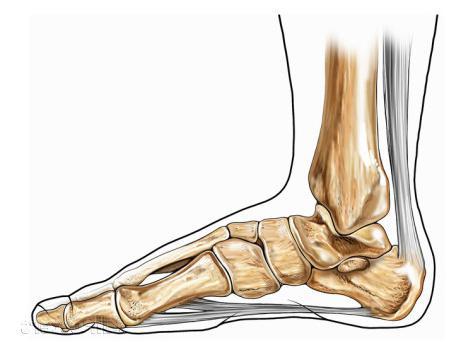 анатомия скелет нижних конечностей
