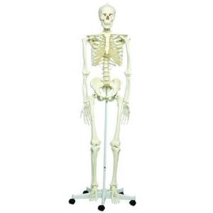 Сколько костей в человеческом теле