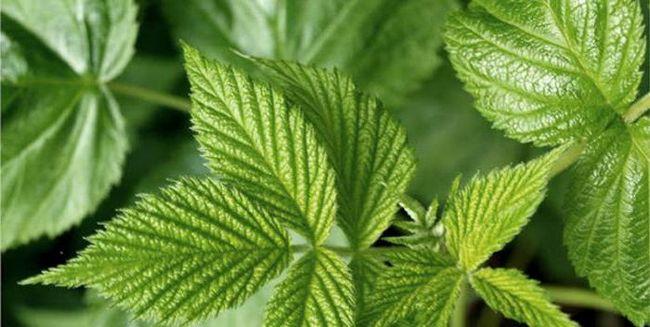 растения со сложными листьями