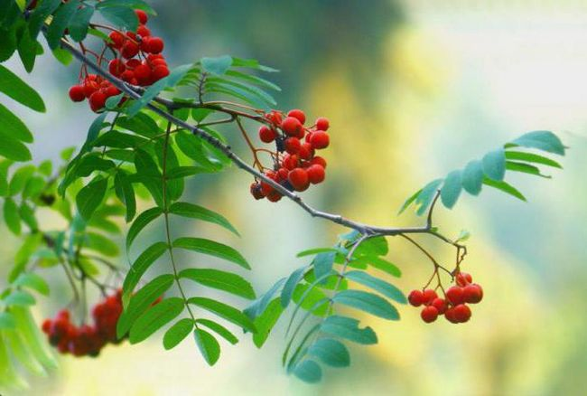 виды сложных листьев