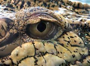 Снятся крокодилы? Сонник даст ответ