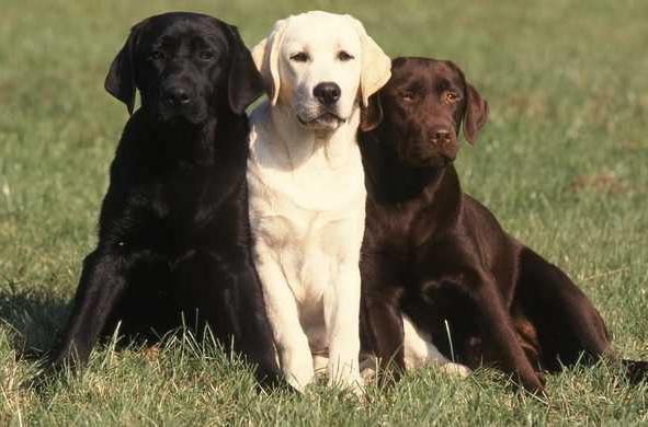 Собака-лабрадор: особенности породы и ухода за питомцем