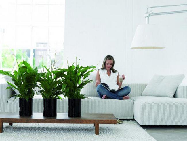 спатифиллум размножение и уход в домашних условиях