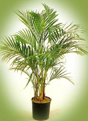 пальма ховея уход