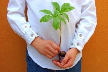 как посадить каштан из плода