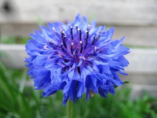 Васильки садовые - красивейшее растение