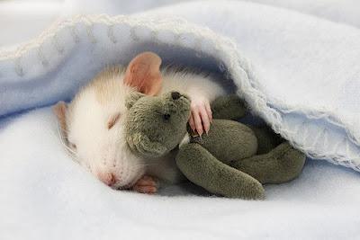 Видеть во сне крысу не так уж плохо!
