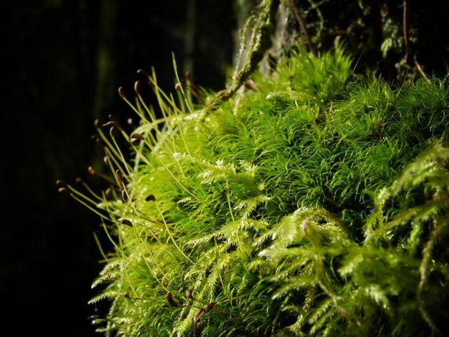 Виды мхов с описанием и названиями список растений