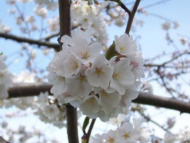 Вишня обыкновенная – королева весеннего сада