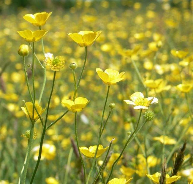Вы знаете, почему желтый луговой цветок назвали лютиком?