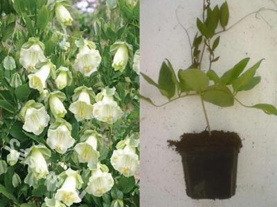 Выращивание кобеи - шикарной, красиво цветущей лианы