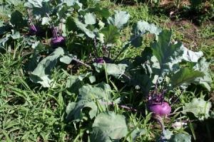 Выращивание кольраби на дачном участке