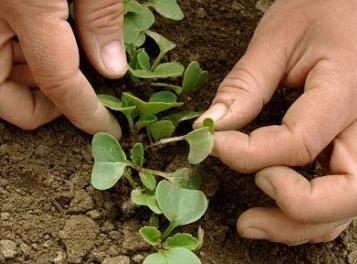 Выращивание редиса: как получить хороший урожай